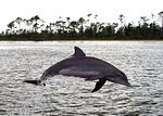 A_Bottlenose_Dolphin_at_play_in_Perdido_Bay_thumb